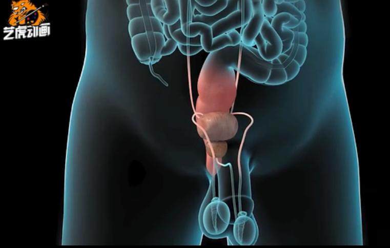 前列腺男性生殖系统医学动画视频